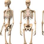 ¿Cuántos huesos tiene el cuerpo humano?