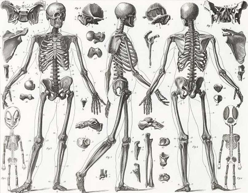 Fantástico Esqueleto Con Huesos Marcados Festooning - Anatomía de ...